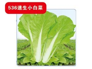 536 fast growing cabbage