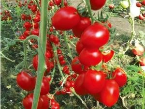 Tomato seeds-Yunid holy fruit
